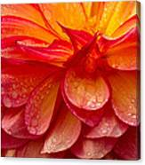 Dewey Dahlia Closeup Canvas Print