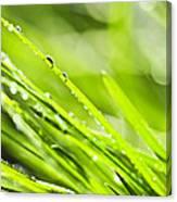 Dewy Green Grass  Canvas Print
