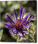 Dewy Purple Fleabane Canvas Print