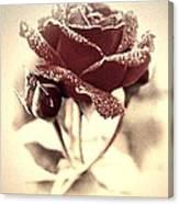 Dewy Rose Canvas Print