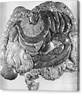 Digestive Organs Canvas Print