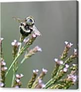 Digger Bee Canvas Print