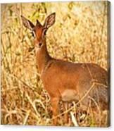 Dik-dik Antelope Canvas Print
