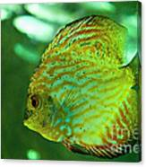 Discus Fish Canvas Print