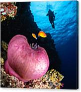 Diver And Magnificent Anemone, Fiji Canvas Print