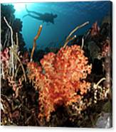 Diver Explores A Coral Reef Canvas Print