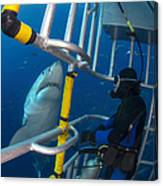 Diver Observes A Male Great White Shark Canvas Print