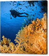 Diver Swimms Above Soft Coral, Fiji Canvas Print