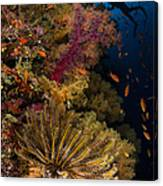 Diver Swims By Soft Corals And Crinoid Canvas Print
