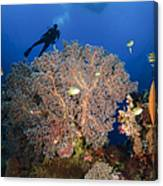 Diver Swims Over Sea Fans, Indonesia Canvas Print