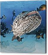 Divers Photographing A Giant Grouper Canvas Print