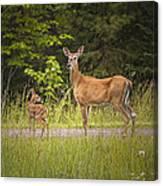 Doe And Fawn Along A Roadside Near Iron Mountain Michigan. Canvas Print