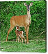 Doe And Nursing Fawn Canvas Print