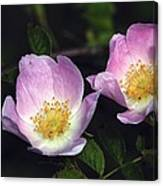 Dog Rose (rosa Sp.) Canvas Print