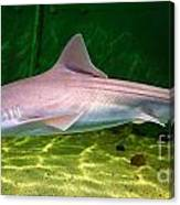Dogfish Shark In Aquarium Canvas Print