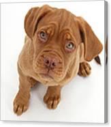 Dogue De Bordeaux Puppy Canvas Print