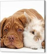 Dogue De Bordeaux Puppy With Bunny Canvas Print