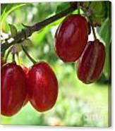Dogwood Cornus Mas Berries Canvas Print