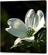 Dogwood Bloom At Sunrise Canvas Print