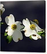 Dogwood Blossom - Beelightful Canvas Print