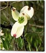 Dogwood Blossome Canvas Print