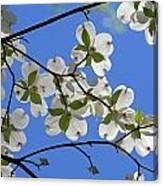 Dogwood Blossoms 2 Canvas Print