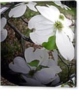 Dogwood Under Glass Canvas Print