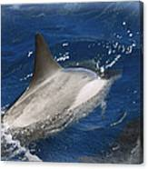 Dolphin Escort Canvas Print