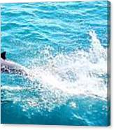 Dolphin In Baja Canvas Print