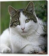 Domestic Cat Felis Catus Portrait Canvas Print