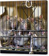 Domestic Rats At The Sutton Avian Canvas Print