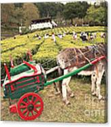 Donkey And Tea Gardens Canvas Print