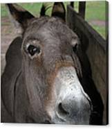 Donkey Eyes Canvas Print