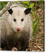 Don't Mess With Me Opossum Canvas Print