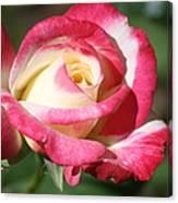 Double Delight Rose Canvas Print