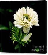 Double Poppy Anemone  2 Canvas Print