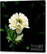 Double Poppy Anemone Canvas Print