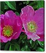 Double Wild Rose Canvas Print