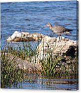 Dowitcher Canvas Print