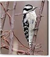 Downy Woodpecker 1 Canvas Print