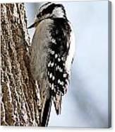 Downy Woodpecker 4 Canvas Print