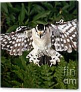 Downy Woodpecker In Flight Canvas Print