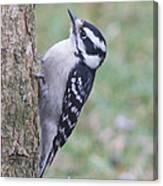 Downy Woodpecker On Dogwood Canvas Print