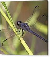 Dragonfly - Little Boy Blue Canvas Print