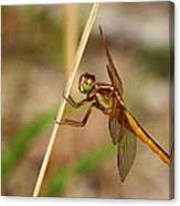 Dragonfly Looking At You Canvas Print