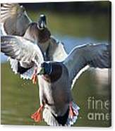 Dramatic Ducks Canvas Print