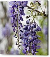 Draping Lavender Purple Wisteria Vines Canvas Print
