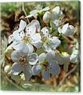 Dreams Of Pear Blossoms Canvas Print