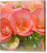 Dreamy Begonias Canvas Print