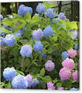 Dreamy Blue And Pink Hydrangeas Canvas Print